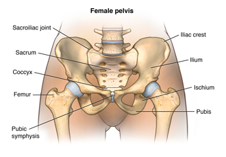 Anatomy of the female pelvis showing the sacroiliac joint, the sacrum, the coccx, the femur,the pubic symphysis, the pubis, the ischium, the ilium, and the iliac crest
