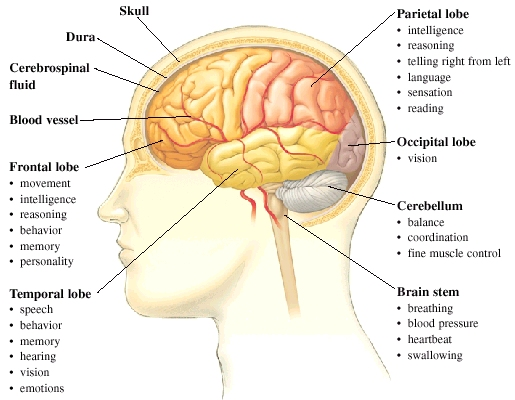 Side view of head with brain inside skull. Frontal lobe at front of brain controls movement, intelligence, behavior, and memory. Temporal lobe on side of brain controls speech, behavior, memory, hearing, and vision. Parietal lobe at top and side controls intelligence, reasoning, telling right from left, language, sensation, and reading. Occipital lobe at back controls vision. Cerebellum at base controls balance, coordination, and fine muscle control. Brain stem connecting to spinal cord controls breathing, blood pressure, heartbeat, and swallowing. Blood vessels in neck branch out into brain. Dura is covering on brain. Cerebrospinal fluid surrounds brain under dura.